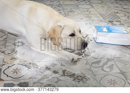 Naughty Dog. Dirty Labrador Retriever Puppy With Guilty Expression Lying Near Mess On Floor