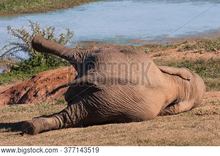African Elephant Lying Down With His Leg In The Air At A Waterhole Alone In South Africa