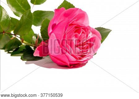Opened Pink Rose Bud With Green Leaves On Isolated White Background.