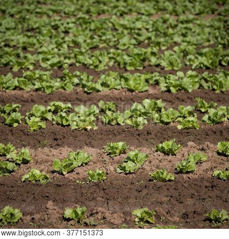 Close-up Of Arable Farmland With Fresh Chinese Cabbage. Growing Organic Vegetables In The Field. Sel
