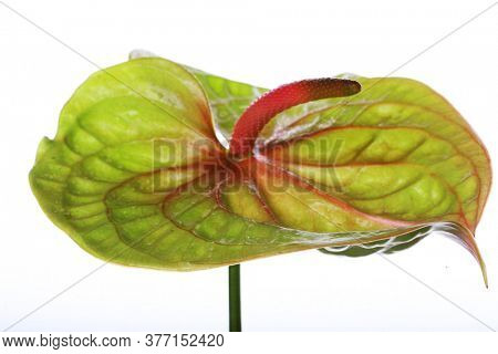Green Anthurium. Isolated on white. close up