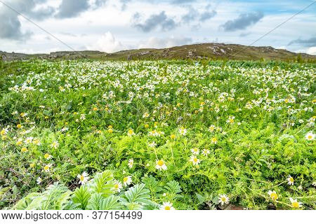 Flowering. Chamomile. Blooming Chamomile Field, Chamomile Flowers On A Meadow In Summer In Ireland