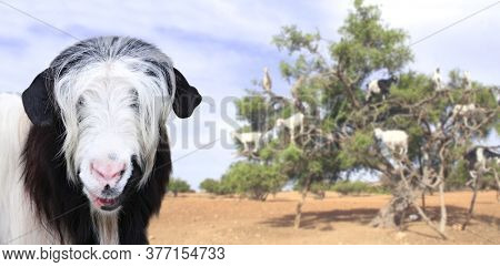 Funny goat of black and white color on blurred background with famous moroccan scene - goats on the argan tree, Morocco, North Africa