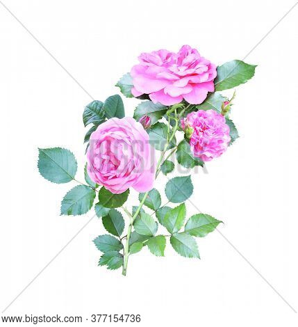 Branch of Climbing rose with pink flowers. Isolated on white background