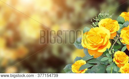 Branch of rose with yellow flower. Horizontal banner with beautiful rose flowers on blurred sunny background. Copy space for text. Mock up template