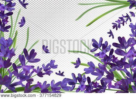 Bunch Aroma Lavender. Violet Lavender Background.3d Realistic Flower Lavender. Fragrant Lavender. Ve