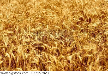 Golden Ripe Wheat Ears At The Farm Field Ready For Harvesting. Rich Wheat Crop Harvest. Agriculture