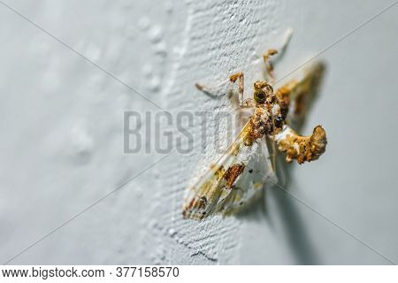 Angle Of Insect On The Wall. The Angle Shades (phlogophora Meticulosa) Is A Moth Of The Family Noctu