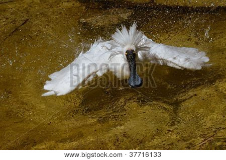 the royal spoonbill is displaying all its feathers looking for a mate poster