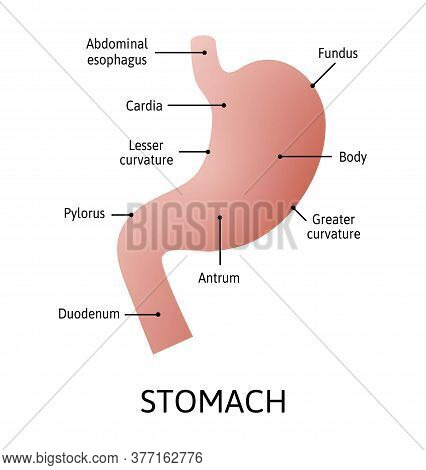 Human Stomach Anatomy Isolated On White Background. Stomach And Digestion Organ System, Vector Illus