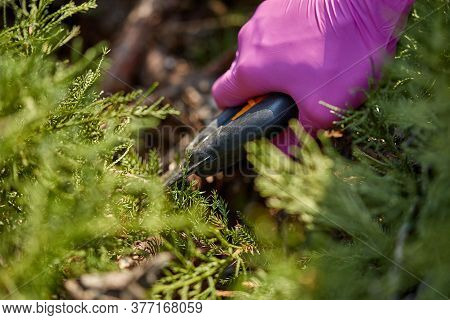 Hands Of Gardener In Purple Gloves Are Trimming The Overgrown Green Shrub With Pruning Shears On Sun