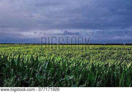 Blue Rainy Clouds Over A Green Corn Field. Beautiful Landscape Of Corn Field