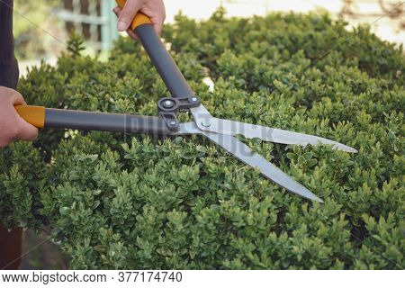 Bare Hands Of Gardener Are Trimming The Overgrown Green Shrub Using Hedge Shears On His Backyard. Wo