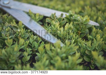 Sharp Hedge Shears Are On An Overgrown Green Bush, On Backyard. Landscaping Garden, Clipping Hedge I