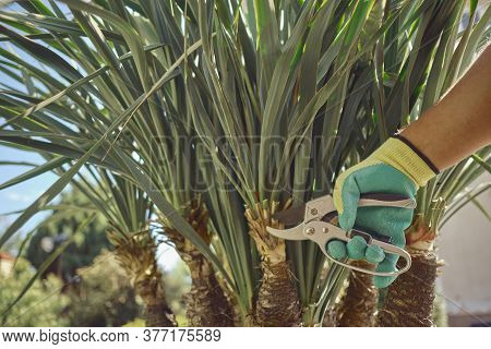 Hand Of Unknown Worker In Colorful Glove Is Cutting Green Yucca Or Small Palm Tree With Pruning Shea