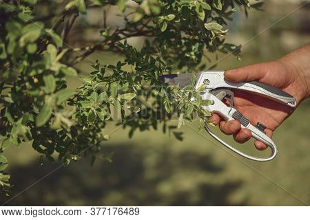 Bare Hand Of Unknown Human Is Clipping Green Twig Of A Tree With Sharp Pruning Shears In Sunny Garde