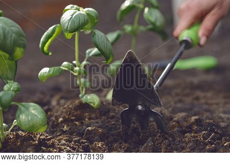 Hand Of Unrecognizable Girl Is Loosening Ground By Small Garden Hoe, Planting Green Basil Seedlings