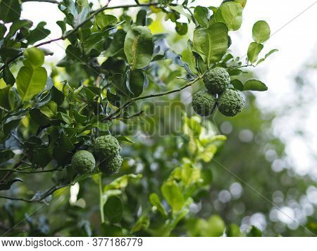 Kaffir Lime, Leech Lime Citrus Hystrix Dc Scientific Name Rough Skin Green Vegetable On Tree In Gard