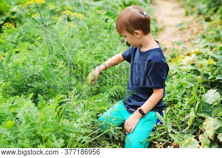 Cute Boy Working In The Backyard Garden. Kid Gardening And Planting Vegetable Plants In Garden. Fami