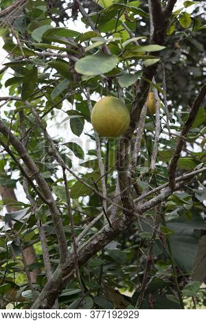 Bunches Of Fresh Yellow Ripe Lemons Hanging On A Lemon Tree In Assam
