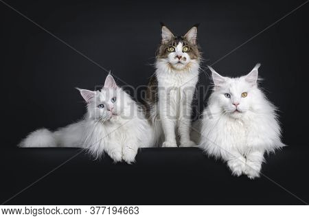 Handsome Trio Of Maine Coon Cats, Sitting / Laying Beside Each Other On Edge. Looking To Camera, All