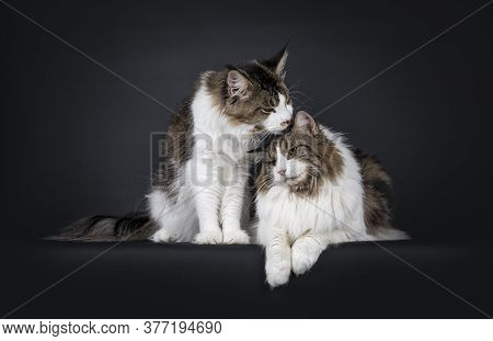 Handsome Duo Of Look Alike Norwegian Forestcat And Maine Coon Cat, Sitting / Laying Beside Each Othe