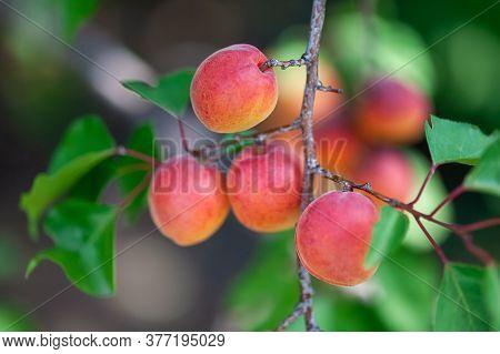 Ripe Organic Apricots Hanging On An Apricot Tree. Close Up.
