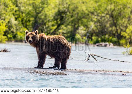 Brown Bear Looking To The Fotokamera, Kurile Lake, Kamchatka Peninsula, Russia