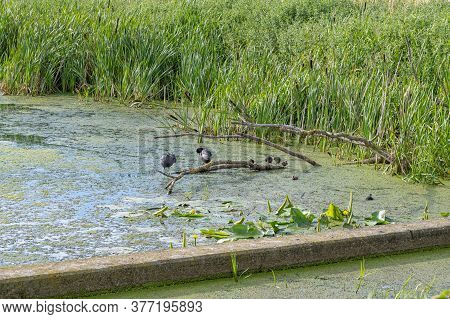 A Duck Family On A Tree Branch In A Lake. Reflections In The Water. Green Bushes In The Background.