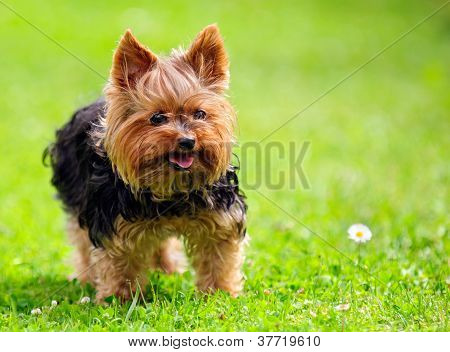 A cute Yorkshire Terrier playing in the yard in summer with a tongue stuck out poster