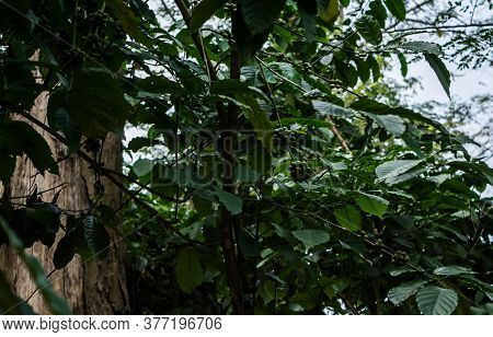 Indian Gooseberry Tree, Phyllanthus Emblica, Is Also Called Aamla In Hindi, Local Fruits And Herbs W