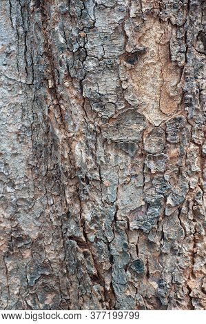 Natural Wooden Texture Background. Closeup Macro Of Old Aged Tree Bark. Abstract  Tree Nature Backdr