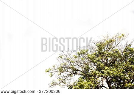 Tropical Tree Leaves With Branches On White Isolated Background For Green Foliage Backdrop With Clip