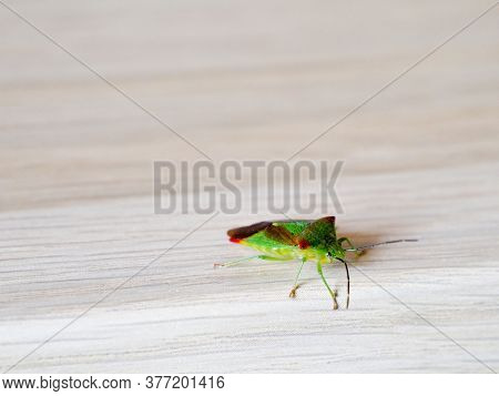 Birch Shield Bug Stink Bug On Wooden Background