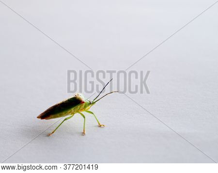 Birch Shieldbug Stink Bug Stood On White Background With Room For Text