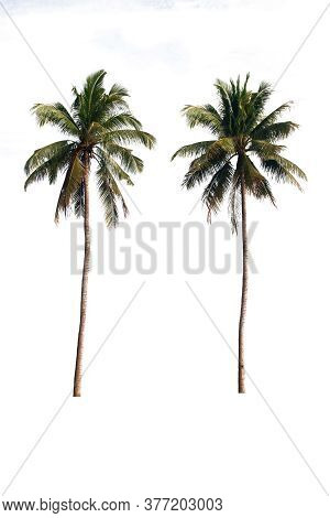 Two Of Coconuts Tree On A White Background With Clipping Path.