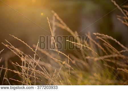 Dawn. Beautiful background at sunrise. The grass is illuminated by the sun. Spikelets at dawn. Beaut