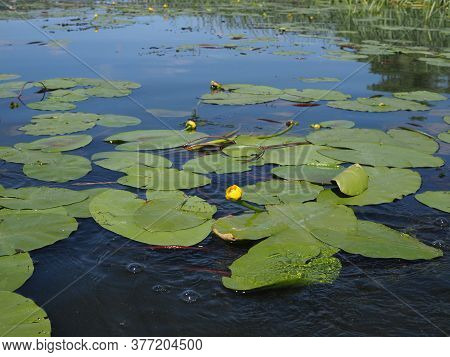 Yellow Nenuphar Flower, Water Lily On A Lake. Beautiful Aquatic Plant And Flower Grows In European P