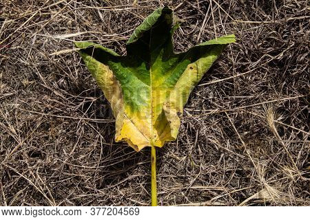 Close-up Of Single Withering Green Leaf Turning Yellow Fallen On Dry Vegetation. Autumn Concept