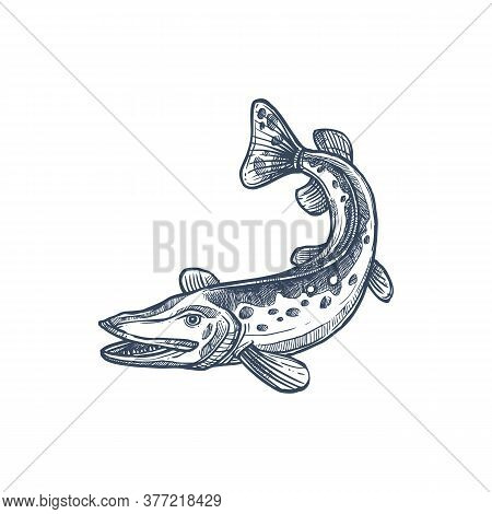 Pickerel Or Esox Fish, Isolated Freshwater Pike Monochrome Sketch. Vector Elongated Torpedo-like Pre