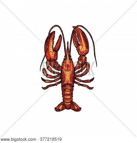 Red Boiled Lobster Isolated Marine Seafood Sketch. Vector Aquatic Animal, Cooked Crustacean, Hand Dr