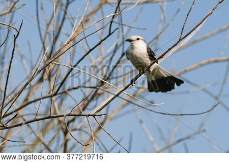 White-rumped Monjita Perched On Dry Tree Branches With Blue Sky In The Background.