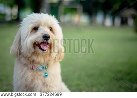 Looking Up Brown Cute Poodle Puppy Sitting On Ground, Cute White Poodle Dog On Green Park Background