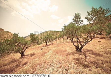 Olive Grove On The Slopes Of The Mountains Of Samaria In Israel. Retro Style