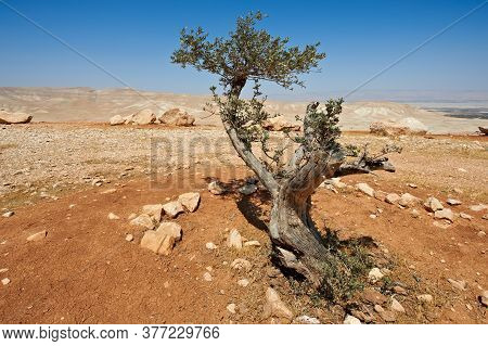 Olive Tree In The Negev Desert In Israel. Breathtaking Landscape Of The Desert Rock Formations In Th