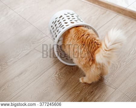 Cute Ginger Cat Overturned Wastebasket. Curious Fluffy Pet Inside Trash Can. Funny And Playful Domes