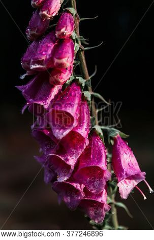 Violet Digitalis Flower With Water Droplet On Dark Background