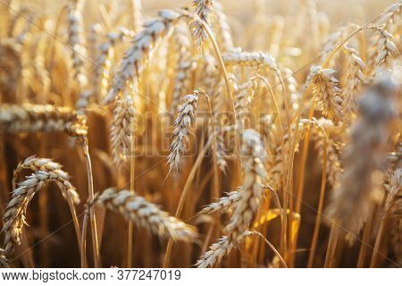 Wheat field, close up shot. Ripe ears of wheat grow on the nature.