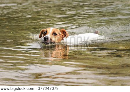Jack Russell Terrier Dog Swimming In River, Only Her Head Visible Above Water