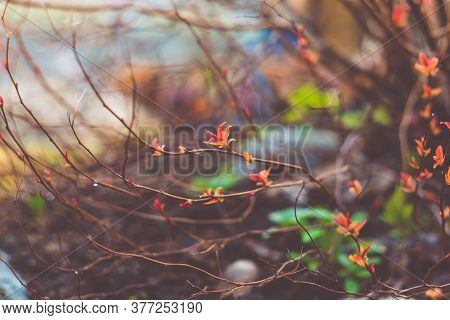 Red Leaves And Buds On The Bare Branches Of A Bush. Beautiful Autumn Natural Background. A Hedge Of